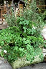 Herb Garden Winter - growing parsley bonnie plants