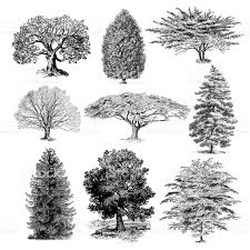 forest tree illustrations vintage nature clipart stock vector