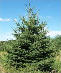 chester county trees about fertilizer and fertilizing evergreen