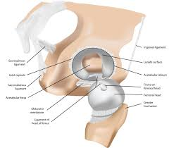 Ankle Anatomy Ligaments Structural And Functional Features Of Major Synovial Joints And
