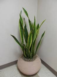 Low Light Indoor Plants by Good Indoor Plants Best Indoor Plants Chinese Money Plant