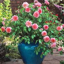 Rose Flower Images Best 25 Beautiful Roses Ideas On Pinterest Beautiful Flowers