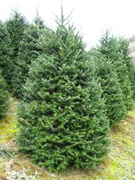 fraser fir tree fraser fir trees the christmas tree strong branches