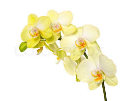 yellow orchid beautiful yellow orchid flower on white stock photo colourbox