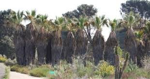 mexican fan palm growth rate washingtonia palms wonders or weeds dave s garden