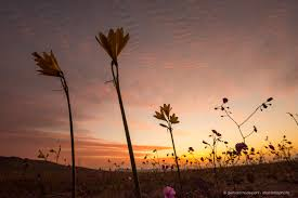 atacama desert blooming flowers of desierto florido in chile
