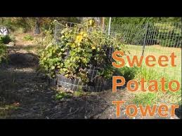 Container Gardening Potatoes - growing potatoes the easy way potato towers gardens