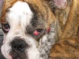What Causes Dogs To Go Blind Cherry Eye In Dogs Symptoms And Home Treatment