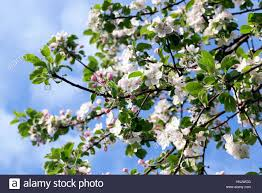 trees with white flowers wood and white flowers of apple trees growing in an orchard in
