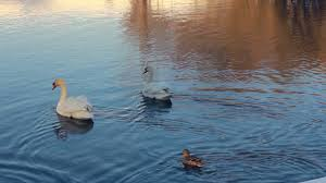 white swans in sunlight swans and ducks swimming in lake swan on