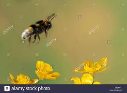 bumble bee bombus hortorum flying yellow buttercup flowers high