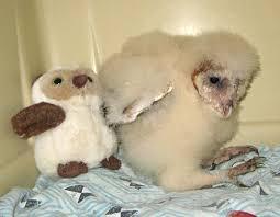 Baby Owls Grow Better In Groups Zooborns
