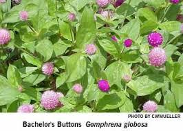 bachelor buttons bachelor s buttons gomphrena globosa