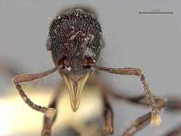 devil frog vomits up a new ant species