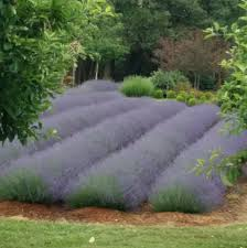 lavender and daylilies 2015 high hand nursery
