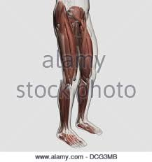 The Human Anatomy Muscles Vastus Medialis Muscle Anatomy Muscles Isolated On White 3d