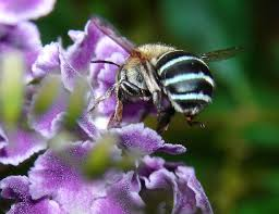 native plants for bees file australian blue banded bee best viewed large jpg wikimedia