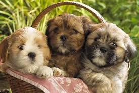 shi poo top 10 benefits of having a shih tzu dog puppies club