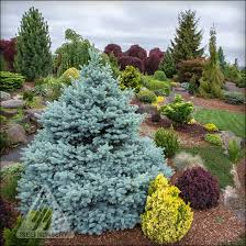 blue spruce the amazing world of conifers
