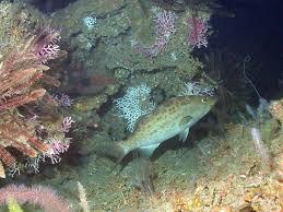 Scamp grouper