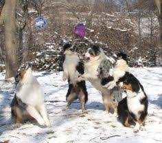 australian shepherd youtube herding australian shepherd smart working dog australian shepherd