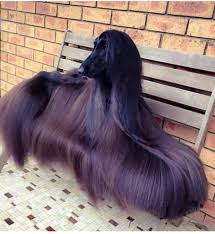 afghan hound calendar 2015 an afghan hounds coat oddlysatisfying