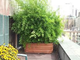 sichtblende balkon bambus im kübel als sichtschutz auf einem balkon kübel container