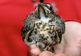 the fledgling problem tough little birds