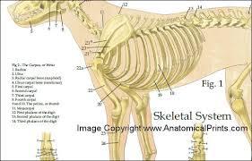 Dog Body Parts Anatomy Caudal Dog Spine Anatomy Canine Vertebrae Vertebral Column Model