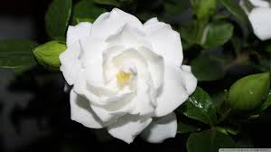 white flower white flower hd desktop wallpaper for 4k ultra hd tv dual