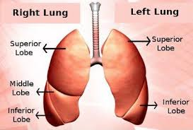 The Human Body Picture How Many Lungs Are In The Human Body Socratic