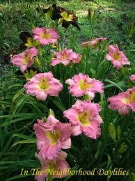 reblooming daylilies daylily south sea enchantment billingslea 1996 daylily pink