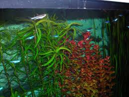 Tropical Aquatic Plants - tropical fish aquarium plants new jersey supplier of reef