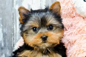 puppies for sale akc yorkie puppies for sale buy teacup terrier pups