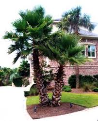mexican fan palm growth rate cataog
