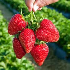 edible fruits dunlap strawberry edible fruits