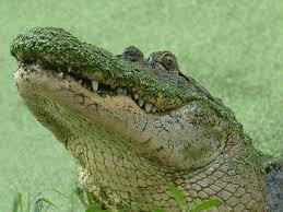 Louisiana wild animals images Louisiana swamp jpg