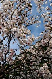 Tree With Little White Flowers - 14 best flowering u0026 ornamental trees images on pinterest white