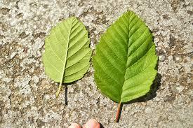 Cottonwood Tree Flowers - tree id red alder trees vs black cottonwood trees u2014 the stanley