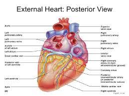 Heart Anatomy Youtube 150 Heart