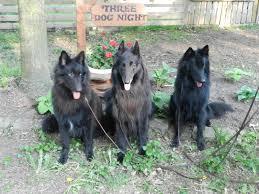 belgian shepherd or border collie mac dogs