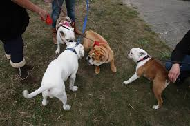 baggy bulldogs bulldog beach walks pinterest photos and bulldogs