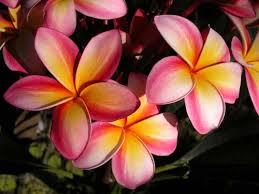 plumeria flower pictures of flowers plumeria