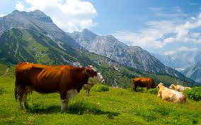 cow in the alps hd wallpaper hd tiger hd wallpapers mobile
