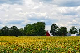 foto wallpaper bunga matahari foto wallpaper bunga matahari