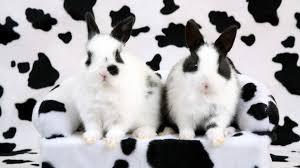 cow print bunny rabbit hd wallpaper animals wallpaper better