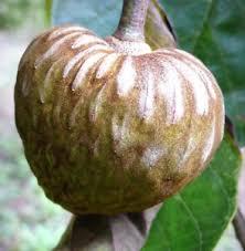 ediable fruit chirimoya fruit cuban annona tropical edible fruit custard apple