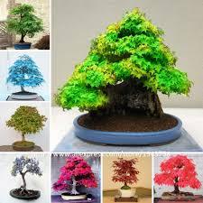online buy wholesale bonsai tree seeds from china bonsai tree