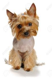 haircuts for yorkies yorkie images stock pictures royalty free yorkie photos and