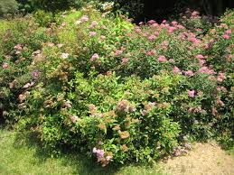 how to plant a spirea bush plant care guide auntie dogma s